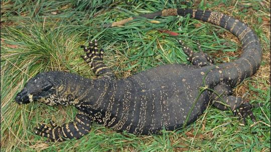 Lace Monitor  Facts, Pictures, Video