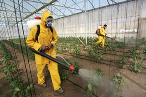 Palestinian farmers spray insecticide on greenhouse crops south of Gaza City.