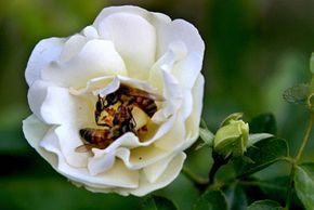 Two bees tussle in a rose and get covered with pollen, which they'll likely carry to another flower for pollination.
