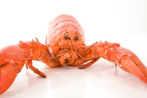 Marine Life Image Gallery Scientists don't know how big lobsters can get, or if they even have a maximum lifespan. See more pictures of marine life.