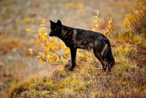 What happens when a wolf leaves its pack? See more wolf pictures.