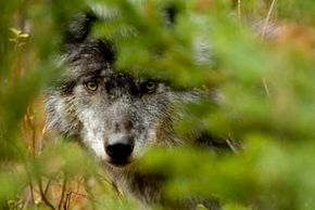 Lone wolves must be careful not to tread into enemy territory.