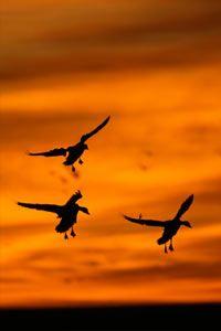 Geese landing at sunrise.
