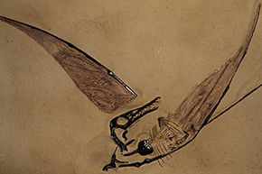 A good pterosaur fossil is hard to find because the critters' thin, hollow bones didn't typically hold up well during the fossilization process. The ones that do exist tell a fascinating story of how these ancient reptiles flew.