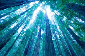 Towering pines near Mount Hood