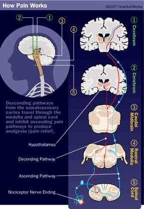 Illustration of the pain pathways