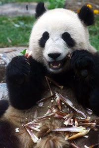 Pandas love bamboo but can't digest it well.