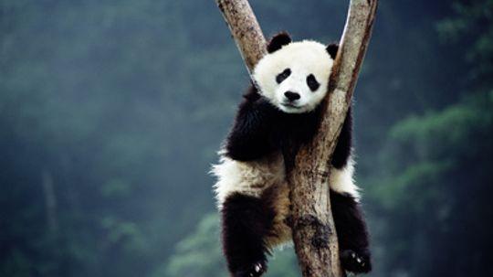 Why don't pandas hibernate?