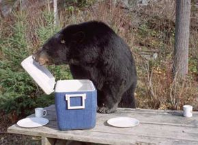 Mammal Image Gallery It may have been alright for Yogi, but this bear may have its lifespan cut in half by its panhandling tendencies. See more pictures of mammals.