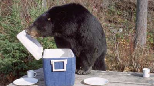 Does panhandling kill black bears?