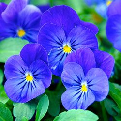 Pansies come in a wide variety of colors and are a popular annual in the Southeast.