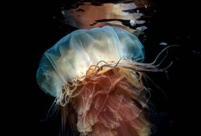 Jellyfish have a radial body plan, but their genes contain code for a bilateral body plan.