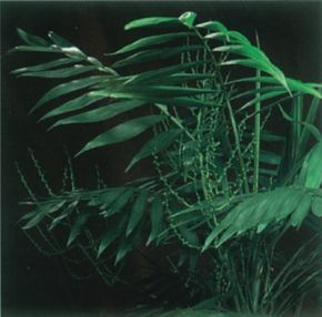 Parlor palms have bright green fan-shaped leaves and branching flower stems. See more pictures of house plants.