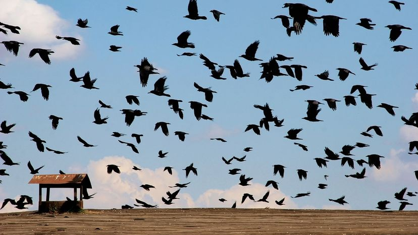 crows flying in field