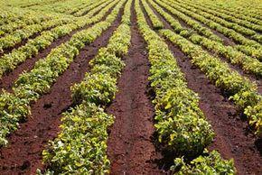 Peanut plants grow on a commercial peanut farm.