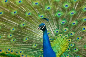 Do the eyes on a peacock's tail signify anything other than natural beauty?