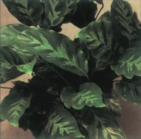 Proudly held foliage is a trademark of the peacock plant. See more pictures of house plants.