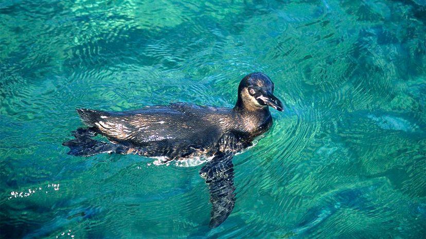penguin, galapagos