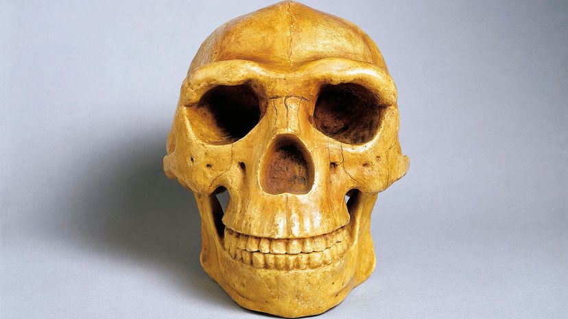 Peking Man skull