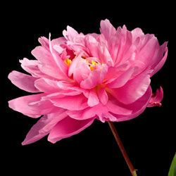 Peony blooms have a pleasant scent and are a lovely addition to any bouquet.