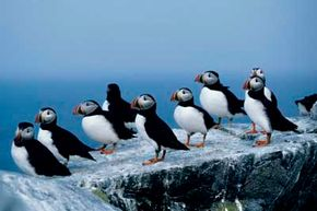 A group of Atlantic puffins. See more pictures of birds.