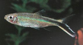 Penguin Fish -- Thayeria obliqua