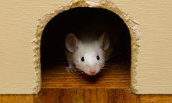 Mice and rats tend to hide behind walls.