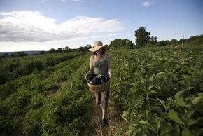 A woman harvests organically grown eggplants on a New York community farm, which is based around the principles of sustainability and environmentalism.