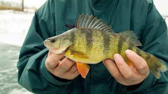 Top 3 Perch Fishing Tips