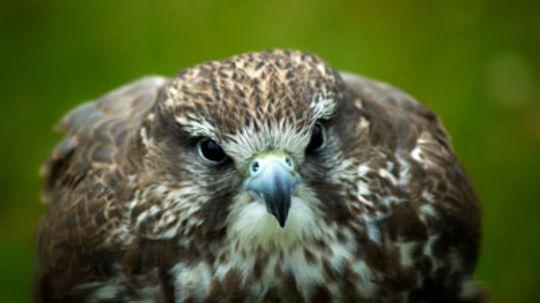 How do peregrine falcons fly so fast?