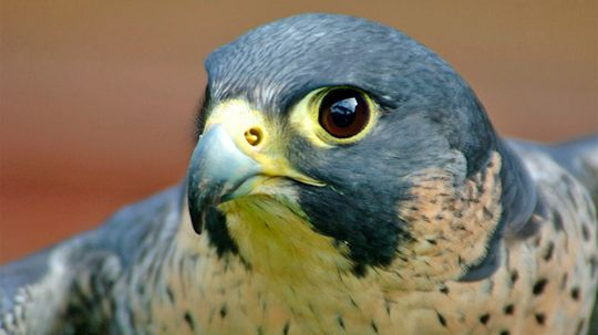 The Fast and Furious Peregrine Falcon Is a Midair Hunting Machine