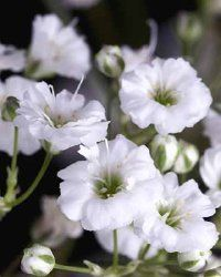 See more pictures of perennial flowers.