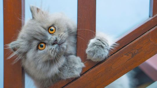 8 Facts About Persian Cats, Kings of the Lap-Nappers