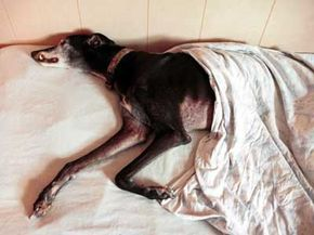 A greyhound takes a snooze in a bed at a pet boarding facility.