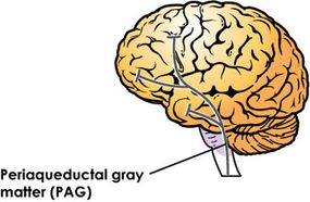 The periaqueductal gray (PAG) is in the midbrain, one of the more primitive regions of the brain.