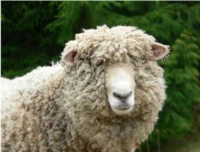 """Grammy the sheep is just one of many animals listed in the """"Barnyard"""" category on Petfinder."""