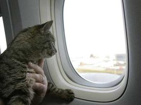 Not every pet makes its way aboard a flight as checked luggage. Emily the cat, seen here, disappeared in late 2004, only to reappear later as a stowaway on a flight to France. She was eventually returned to her home in Milwaukee. See more pet pictures.