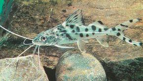 Pictus Cat -- pimelodella pictus See more aquarium fish pictures.