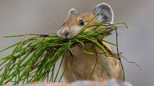 Pikas Are the Pikachus of the Wild