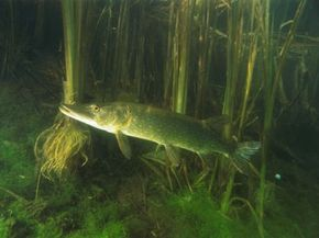 Underwater image of a long thin pike fish with a pronounced mouth in murky green water and reeds.