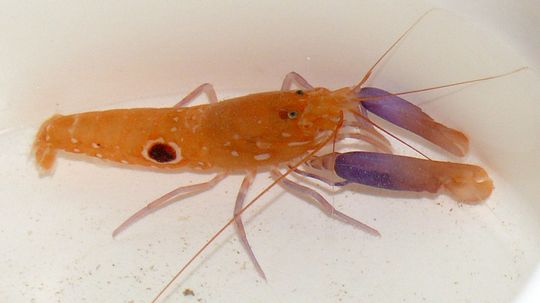 Pistol Shrimp: The Fastest Gun in the Sea