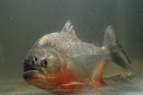 Most piranhas, like this red-bellied piranha, simply nip at other fish as the pass.