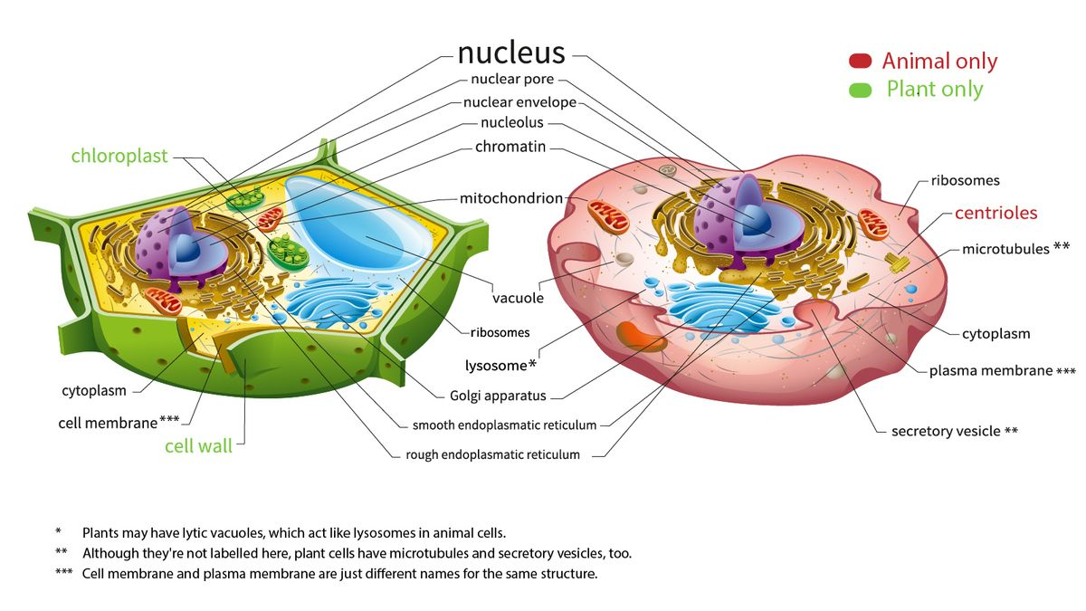Here's How Plant and Animal Cells Are Different