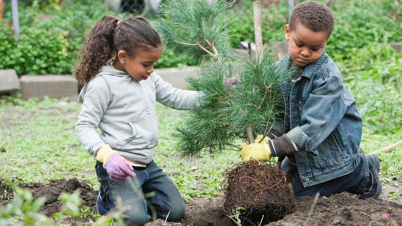 plant pine tree