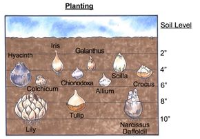 Each type of bulb requires a different planting depth. See more pictures of bulb gardens.