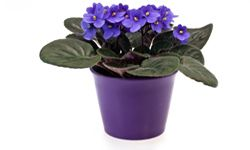 African violets are perfect for bare countertops.