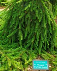 Weeping Norway spruce trees make great low-maintenance additions to any small garden.