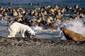 A polar bear faces off with a walrus.