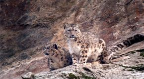 The elusive snow leopard in the mountains of Pakistan made for a challenging filming experience.