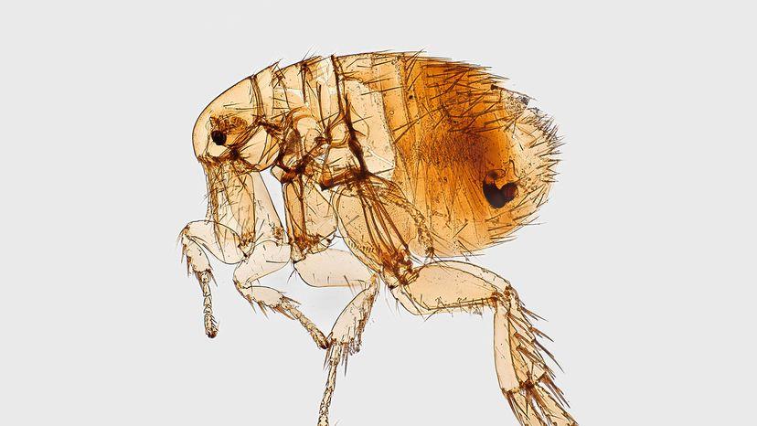 Oriental rat flea